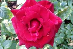 Розы Кремля